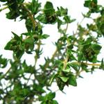Timjan, Thymus vulgaris
